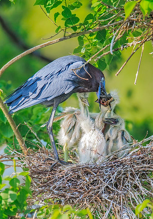 Maker:  Mike Smith<br /> Title:  Little Blue Feeding Chicks<br /> Category:  Wildlife<br /> Score:  13