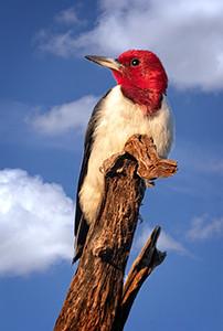 Maker:  Dale Lindenberg<br /> Title:  Red Headed Woodpecker #1<br /> Category:  Wildlife<br /> Score:  14