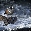 Maker:  :  Wayne Tabor<br /> Title:  Harlequin Duck on Rapids<br /> Category:  Wildlife<br /> Score:  13
