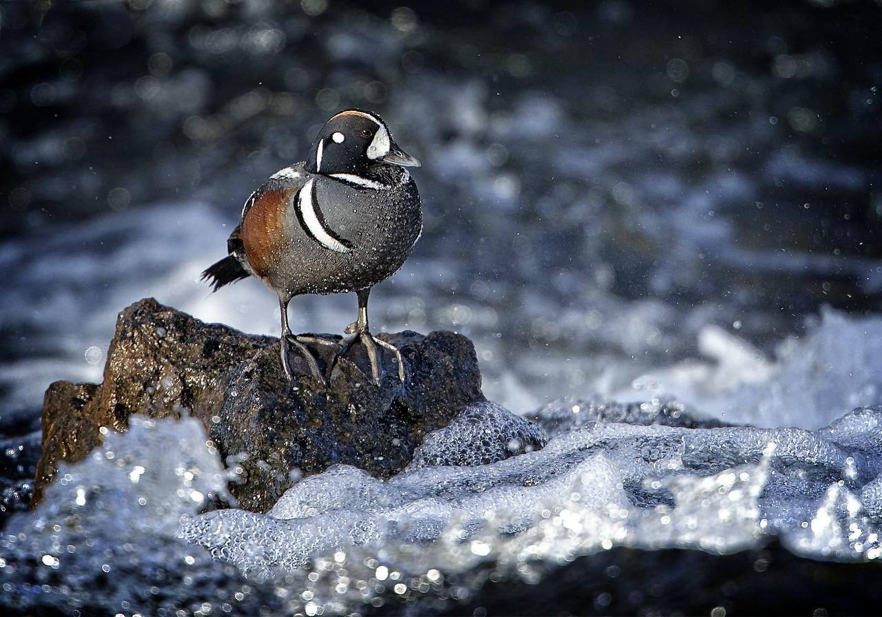 Maker:  :  Wayne Tabor Title:  Harlequin Duck on Rapids Category:  Wildlife Score:  13