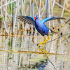 Maker:  Mike Smith<br /> Title:  Purple Gallinule<br /> Category:  Wildlife<br /> Score:  12