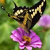 Maker: Dirk J. Sanderson<br /> Title:  Butterfly on Zinnia<br /> Category:  Pictorial<br /> Score:  13