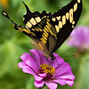 Maker: Dirk J. Sanderson	<br /> Title:  Butterfly on Zinnia<br /> Category:  Pictorial<br /> Score:  13