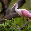 Maker:  Nancy Lawrence<br /> Title:  Perching Spoonbill<br /> Category:  Wildlife<br /> Score:  12