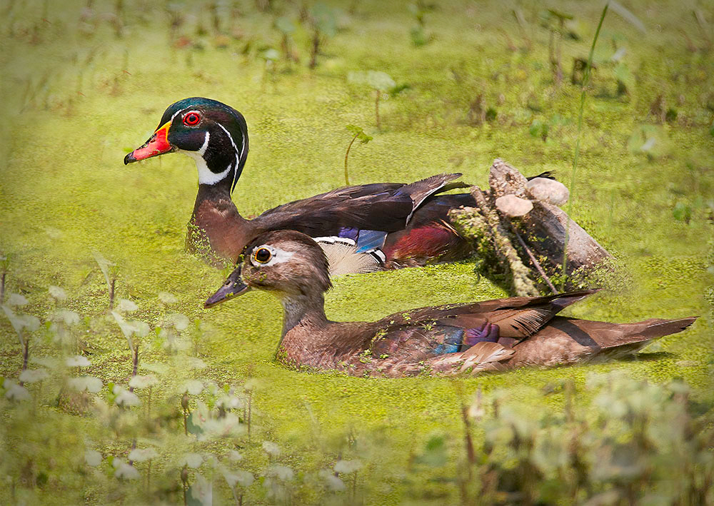 Maker:  Mike Smith Title:  Wood Duck Drake & Hen Category:  Wildlife Score:  14