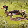 Maker:  Mike Smith<br /> Title:  Wood Duck Drake & Hen<br /> Category:  Wildlife<br /> Score:  14
