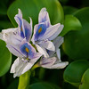 Maker:  Ted Miot<br /> Title:  Water Hyacinth<br /> Category:  Pictorial<br /> Score:  12
