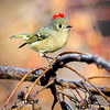 Maker:  Mike Smith<br /> Title:  Ruby Crown Kinglet<br /> Category:  Wildlife<br /> Score:  13