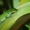 Maker:  Roger Hinton<br /> Title:  Green Lizard<br /> Category:  Macro/Close Up<br /> Score:  11