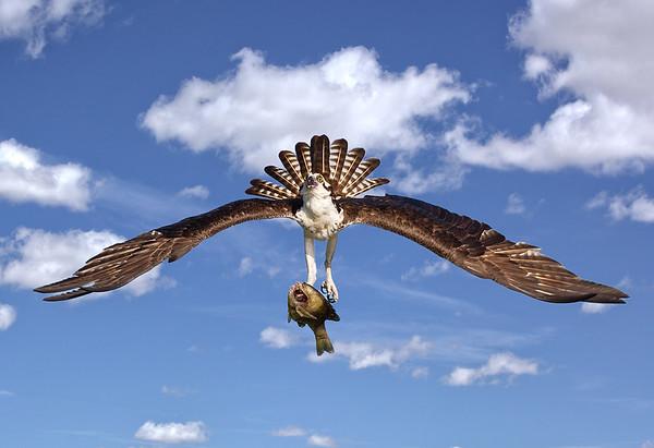 Maker:  Dale Lindenberg<br /> Title:  Osprey with Fish<br /> Category:  Wildlife<br /> Score:  12