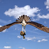 Maker:  Dale Lindenberg<br /> Title:  Osprey with Fish<br /> Category:  Wildlife<br /> Score:  12