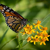 Maker:  Dirk J. Sanderson	<br /> Title:  Butterfly on Flowers <br /> Category:  Macro/Close Up<br /> Score:  11