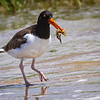 Maker:  Dale Lindenberg<br /> Title:  Oyster Catcher with Crab<br /> Category:  Wildlife<br /> Score:  12