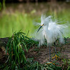 Maker:  Nancy Lawrence<br /> Title:  Juvenile Snowy Egret<br /> Category:  Wildlife<br /> Score:  13