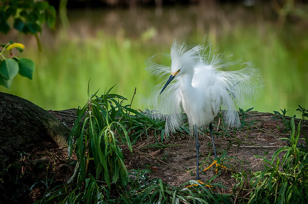 Maker:  Nancy Lawrence<br /> Title:  Juvenile Snowy Egret<br /> Category:  Wildlife<br /> Score:  13