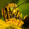 Maker:  Dale Lindenberg<br /> Title:  Bee on Flower<br /> Category:  Macro/Close Up<br /> Score:  13