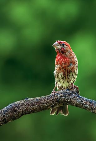 Maker:  Roger Hinton<br /> Title:  Wet Finch<br /> Category:  Wildlife<br /> Score:  14
