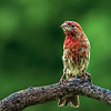 Maker:  Roger Hinton<br /> Title:  Wet Finch<br /> Category:  Wildlife<br /> Score:  14