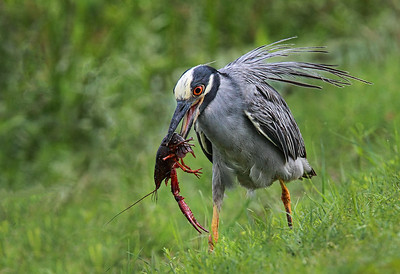 Maker:  Dale Lindenberg Title:  Night Heron with Crawfish Category:  Wildlife Score:  13