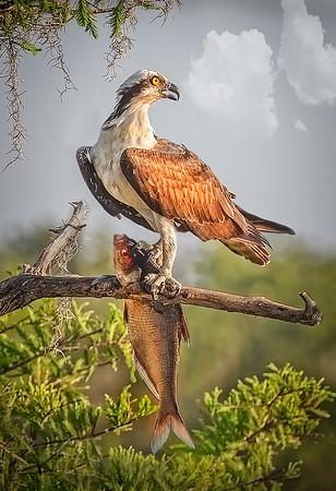 Maker:  Dale Lindenberg<br /> Title:  Osprey with Big Fish<br /> Category:  Wildlife<br /> Score:  15