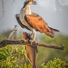 Maker:  Dale Lindenberg<br /> Title:  Osprey with Big Fish<br /> Category:  Wildlife<br /> Score:  15