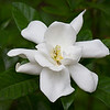 Maker:  Ouida Salter<br /> Title:  Gardenia Blossom<br /> Category:  Pictorial<br /> Score:  11