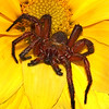 Maker:  Dale Lindenberg<br /> Title:  Spider<br /> Category:  Macro/Close Up<br /> Score:  11
