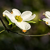 Maker:  Dale Lindenberg<br /> Title:  Dogwood<br /> Category:  Pictorial<br /> Score:  13