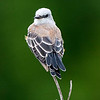 Maker:  Dwayne Anders<br /> Title:  Juvenile Scissortail<br /> Category:  Wildlife<br /> Score:  15