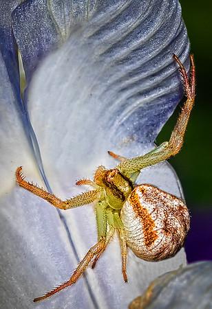 Maker:  Dale Lindenberg<br /> Title:  Crab Spider<br /> Category:  Macro/Close Up<br /> Score:  13