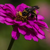 Maker:  Dirk Sanderson<br /> Title:  Bee on Zinnia<br /> Category:  Pictorial<br /> Score:  11