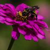 Maker:  Dirk Sanderson<br /> Title:  Bee on Zinnia<br /> Category:  Pictorial<br /> Score:  11
