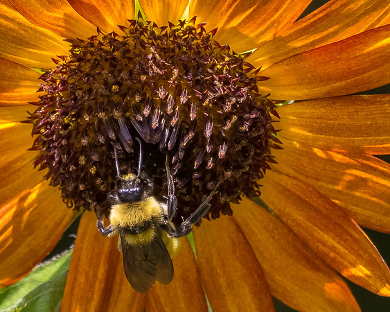 Maker:  Dirk Sanderson<br /> Title:  Bee on Sunflower<br /> Category:  Pictorial<br /> Score:  11