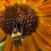 Maker:  Dirk Sanderson<br /> Title:  Bee on Sunflower<br /> Category:  Pictorial<br /> Score:  11