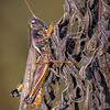 Maker:  :  Wayne Tabor<br /> Title:  Grasshopper on Dead Stalk<br /> Category:  Macro/Close Up<br /> Score:  14
