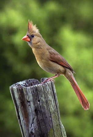 Maker:  Roger Hinton<br /> Title:  Female Cardinal<br /> Category:  Wildlife<br /> Score:  14
