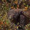 Maker:  Wayne Tabor<br /> Title:  Autumn Bear<br /> Category:  Wildlife<br /> Score:  13