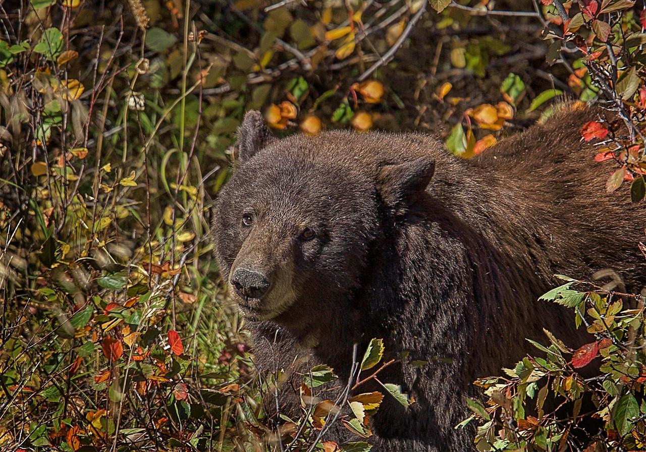 Maker:  Wayne Tabor Title:  Autumn Bear Category:  Wildlife Score:  13