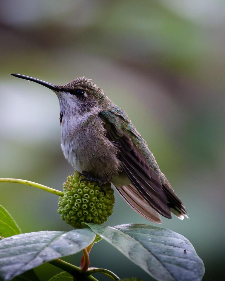 Maker:  Dirk J. Sanderson Title:  Hummingbird at Rest Category:  Pictorial Score:  11