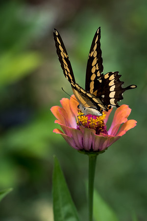 Maker: Dirk J. Sanderson <br /> Title: Giant Swallow Tail on Zinnia <br /> Category: Pictorial<br /> Score: 11