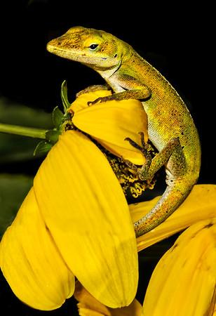 Maker:  Dale Lindenberg<br /> Title:  Lizard<br /> Category:  Macro/Close Up<br /> Score:  11