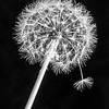 Maker:  Dale Robertson<br /> Title:  Dandelion<br /> Category:  Macro/Close Up<br /> Score:  12