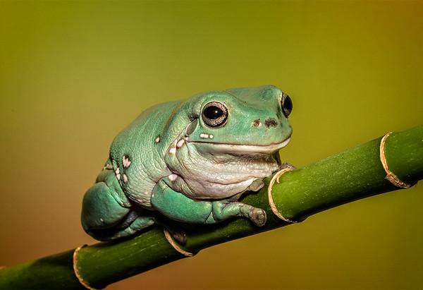 Maker:  Dale Lindenberg<br /> Title:  Frog<br /> Category:  Macro/Close Up<br /> Score:  14