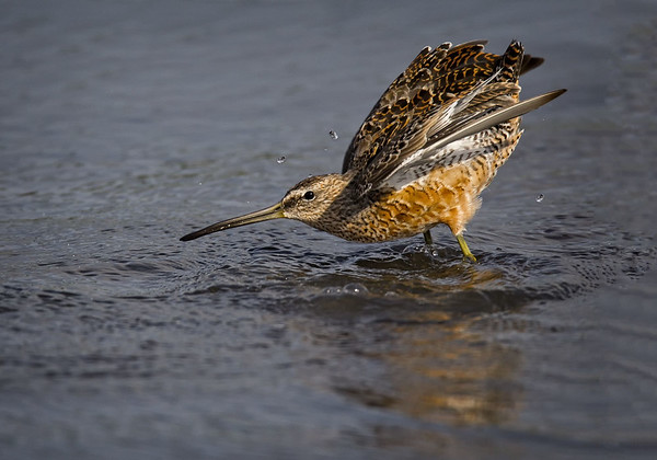Maker:  Wayne Tabor<br /> Title:  Dowitcher Display<br /> Category:  Wildlife<br /> Score:  13