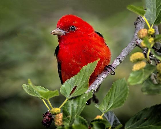 Maker:  Wayne Tabor<br /> Title:  Scarlet Tanager<br /> Category:  Wildlife<br /> Score:  14