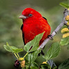 Maker:  Wayne Tabor<br /> Title:  Scarlet Tanager<br /> Category:  Wildlife<br /> Score:  14