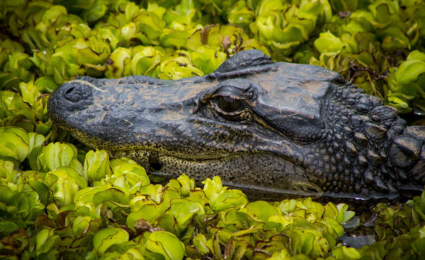 Maker:  Ted Miot<br /> Title:  Avery Gator<br /> Category:  Wildlife<br /> Score:  11