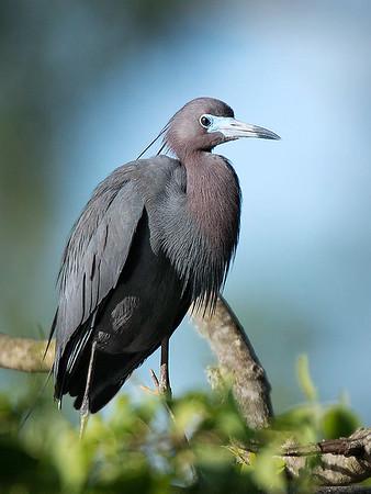 Maker:  Dwayne Anders<br /> Title:  Little Blue<br /> Category:  Wildlife<br /> Score:  12