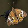 Maker:  :  Wayne Tabor<br /> Title:  Buckeye on Dead flower<br /> Category:  Macro/Close Up<br /> Score:  15