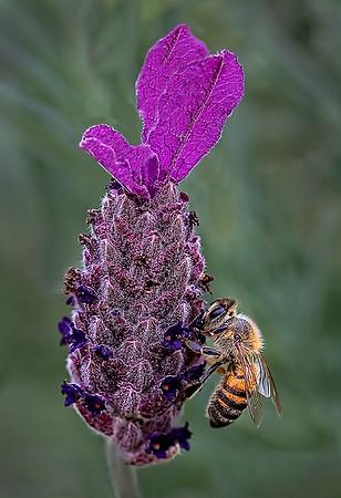 Maker:  Dale Lindenberg<br /> Title:  Bee & Flower #2<br /> Category:  Macro/Close Up<br /> Score:  11